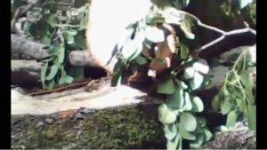 Zaqatala meşələri belə məhv edilir: Meşə rəhbərinin tamahı qiymətli ağac növlərinə qənim kəsilib – FOTOLAR